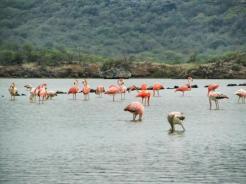Wild flamingoes.