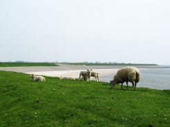Sheep of Texel