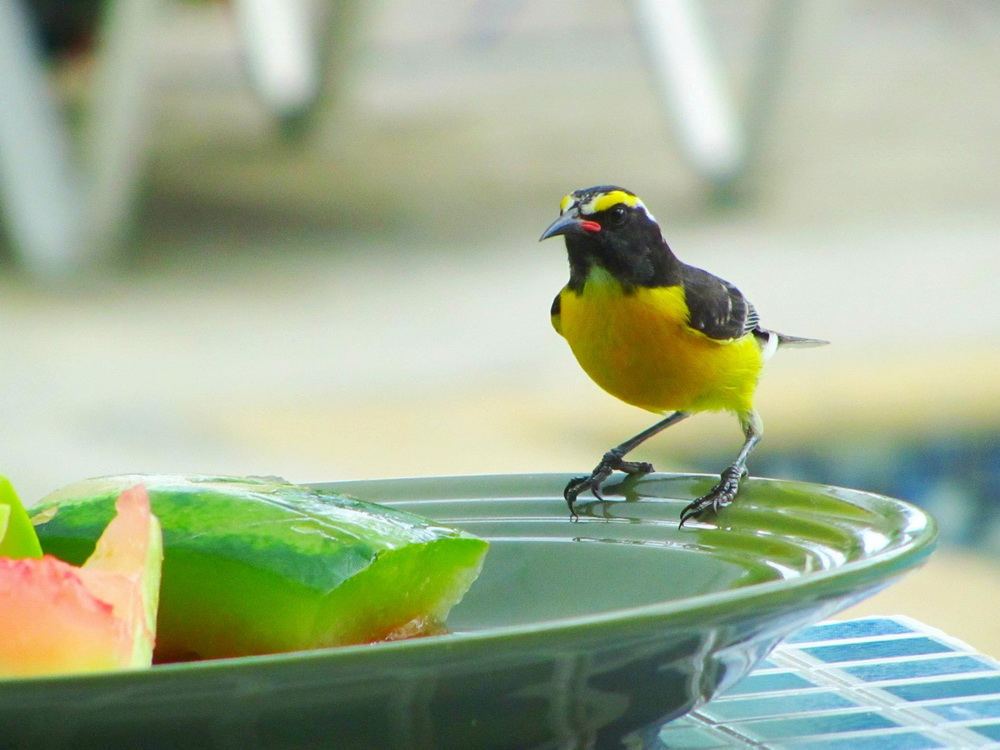 yellow birds of curaçao deliciously doing nothing