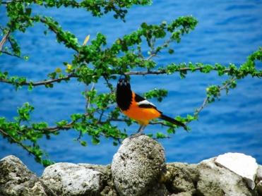 Birds of Curaçao 04